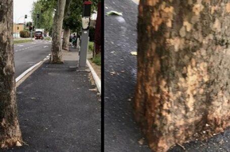 L'asfalto copre le radici in via De Vizzi. Il comune ammette l'errore